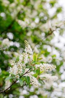 Fiori di primavera, ciliegia di uccello. prunus avium in fiore con piccoli fiori bianchi, sfondo luminoso della natura