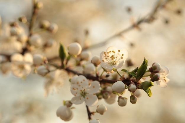 Fiori di primavera che sbocciano su un albero all'alba