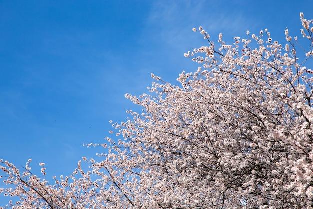 Fiori di primavera. rami di albicocca in fiore contro il cielo blu. fiore bianco. sfondo di primavera. fiori di ciliegio.