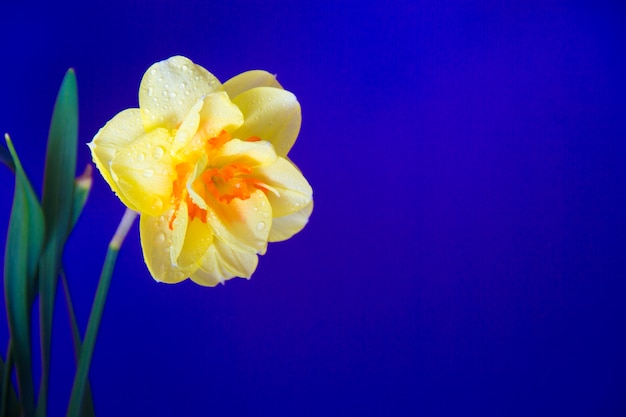 Fiori di primavera su uno sfondo blu brillante. oltremare. primo piano del narciso. copia spazio