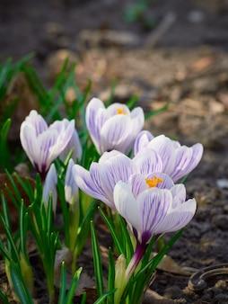 Croco di fiori di primavera nella natura.