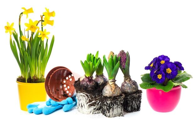 La primavera fiorisce il giacinto, il narciso e le primule su fondo bianco. concetto di giardinaggio