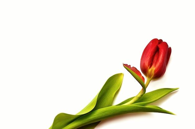 Fiori di primavera. tulipano rosso isolato su sfondo bianco. vista dall'alto. biglietto d'auguri. festa della mamma, san valentino, 8 marzo, festa della donna.