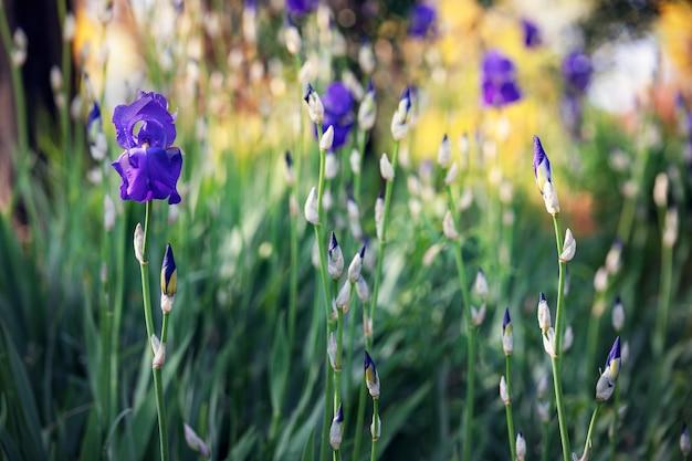 Il giardino primaverile con fiori di iris viola si concentra sul fiore