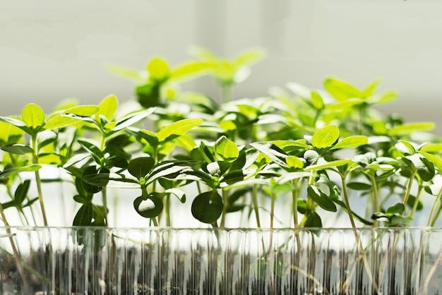 Giardinaggio primaverile. germogli lattuga crescione semi. micro green sulla finestra