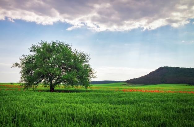 Paesaggio primaverile, composizione della natura. albero solitario, papaveri sul campo e montagna.