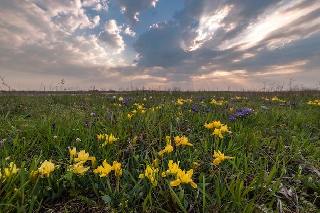 Paesaggio primaverile con fiori di iris sul prato, bella mattina, natura selvaggia
