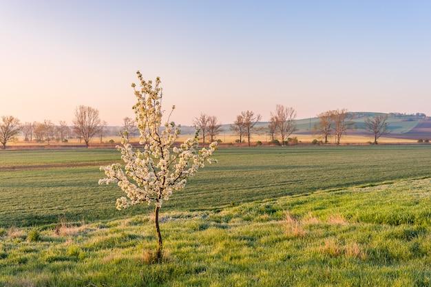 Paesaggio primaverile con piccolo albero in fiore, carta da parati fattoria