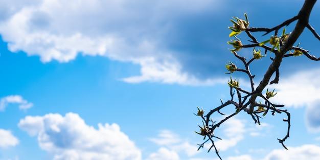 Foglie di primavera che fioriscono su un ramo contro un cielo azzurro con nuvole bianche white