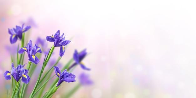 Sfondo di natura primavera con bellissimi fiori di iris