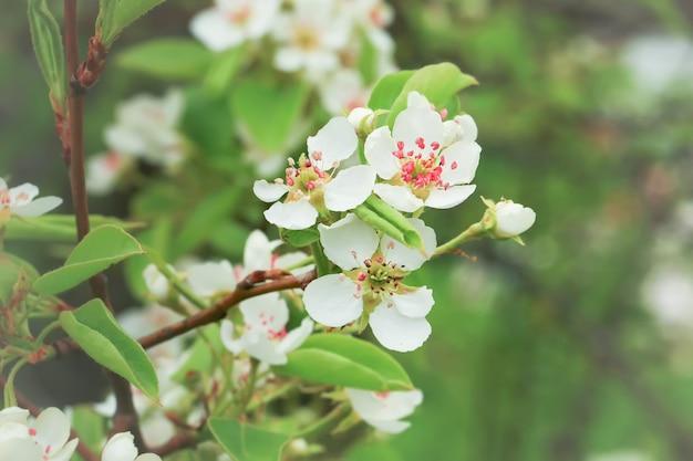 Natura primaverile. rami di pero in fiore in giardino