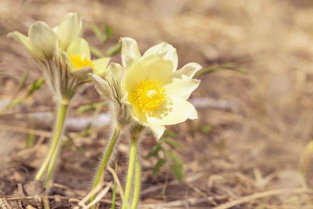 Fiore di pulsatilla di primavera in natura, sfondo naturale con spazio di copia. scena floreale botanica con bucaneve in fiore all'esterno. messa a fuoco selettiva.
