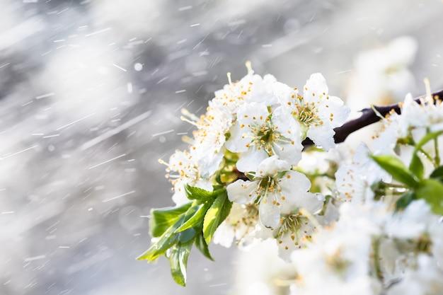 Pioggia primaverile in giardino. fiori bianchi di prugna ciliegia sotto la pioggia in una giornata di primavera. messa a fuoco morbida e dof poco profondo