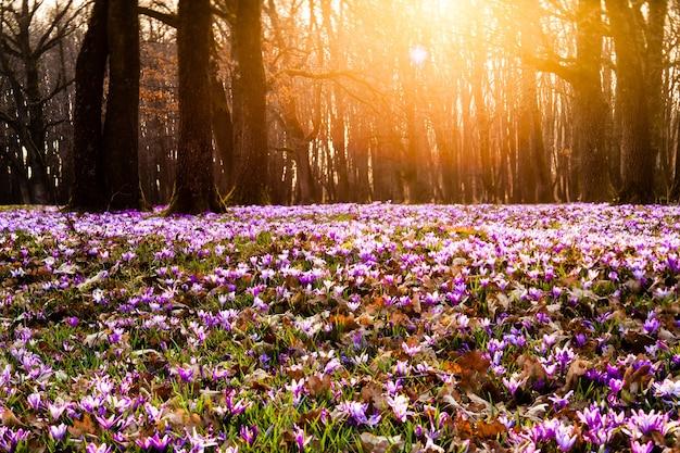 Zafferano primaverile e tappeto erboso nel parco. bellissimi fiori della natura per l'ispirazione. versione tilt-shift