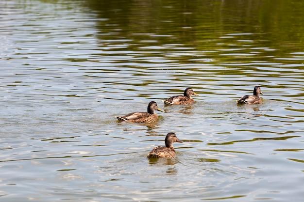 Stagione primaverile con uccelli selvatici anatre anatre selvatiche nell'ambiente naturale piccole anatre selvatiche sul territorio dei laghi