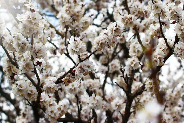 Rami di albero di primavera con fiori su uno sfondo sfocato.
