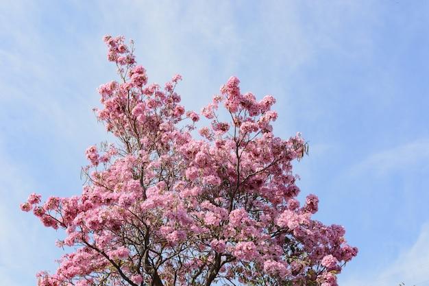 Albero primaverile con fiori rosa fiori di un albero primaverile handroanthus sp