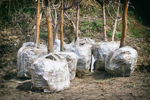 Piantine di alberi primaverili con radici avvolte da una plastica e preparate per la vendita e il trasporto