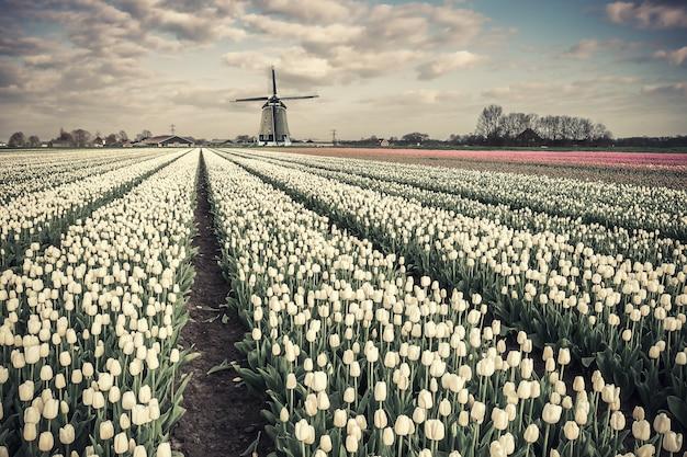 Campo di fiori di tulipano di primavera e mulino a vento sul paesaggio vintage tradizionale olanda, luogo di viaggio. coltivazione di tulipani, bel paese per i viaggi. filtro a pellicola