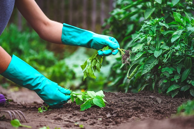Primavera diserbando le verdure nel giardino. giardinaggio e orticoltura