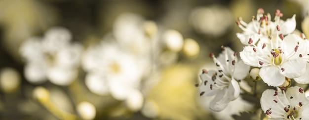 Fiori bianchi della primavera di biancospino