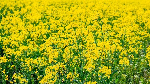 Primavera con fiori di colza gialli, fiori di colza
