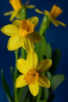 Narcisi gialli di primavera su sfondo blu.
