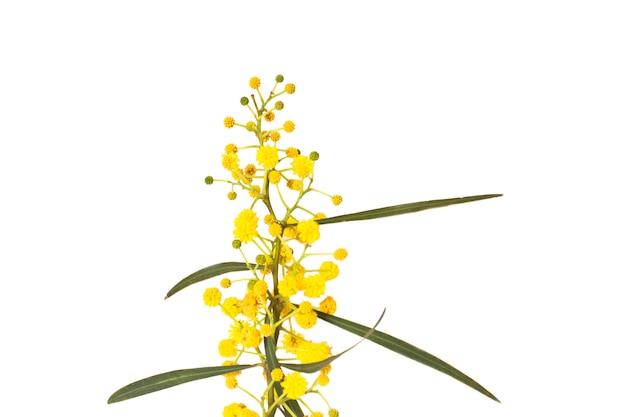 Fiori primaverili gialli di mimosa. macro, messa a fuoco selettiva