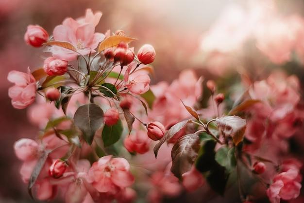 Primavera. fioritura di melo con fiori rosa da vicino