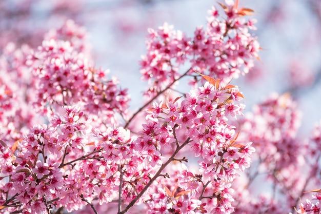 Primavera con albero in fiore di ciliegio da vicino