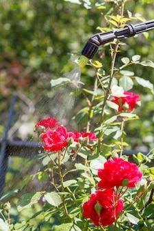 Spolverata di cespugli di rose rosse. proteggere le piante di rose da malattie fungine o parassiti con uno spruzzatore a pressione in giardino