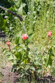Spruzzatura di cespugli di rose. proteggere le piante di rose da malattie fungine o parassiti con uno spruzzatore a pressione in giardino