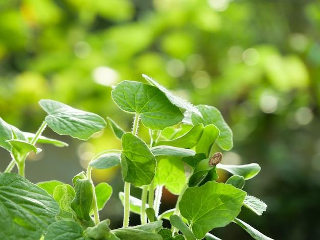 Germoglio di melone invernale e foglie verdi che crescono nella luce del mattino, seminando lo sfondo dell'agricoltura