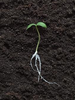 Germoglio con radici disposte su uno sfondo di terreno.
