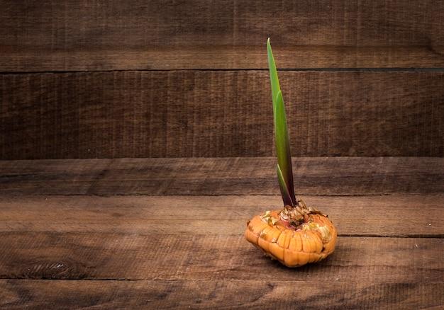 Lampadina germogliata del gladiolo sulla tavola di legno rustica con lo spazio della copia. Foto Premium