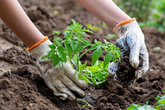Germoglio piantato germogliato