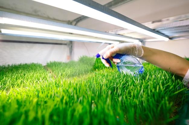 Chicchi di grano germogliati. germinazione di microgreens a casa.