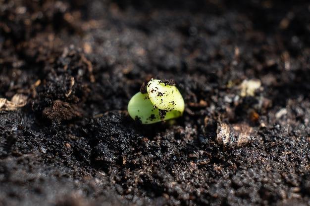 Germogliando una pianta di cannabis, un germoglio di marijuana striscia fuori dal terreno.