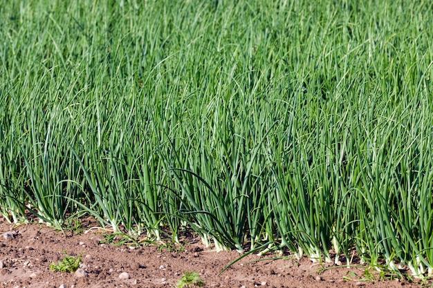 Germogli di cipolle verdi - germogli di cipolle verdi nel campo agricolo, agricoltura