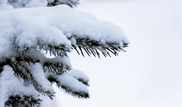 Ramo di abete ricoperto da uno spesso strato di neve su sfondo bianco_