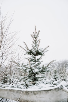 Ramo di abete rosso con un primo piano di berretto da neve