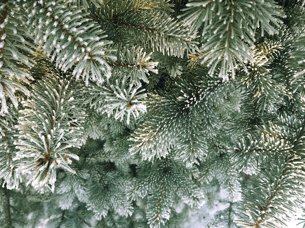 Rami di abete rosso ricoperti di brina. priorità bassa dell'albero sempreverde di natale di inverno. sfondo di rami di abete innevati con il fuoco selettivo.