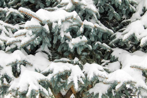 Rami di abete coperti di neve
