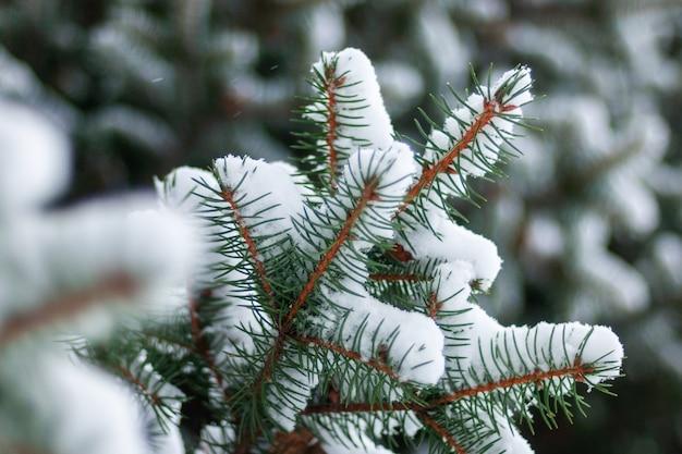 Rami di abete rosso nella foresta di inverno del primo piano della neve
