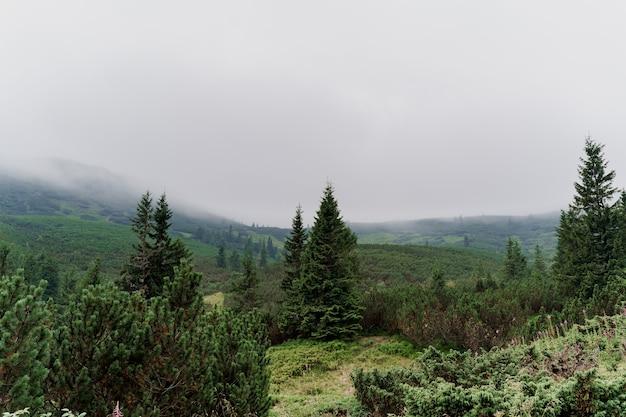 Abete rosso al giorno piovoso e nebbioso nelle montagne di karpathians