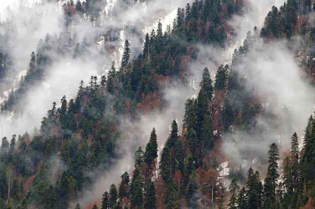 Abeti nella nebbia mattutina sulla montagna
