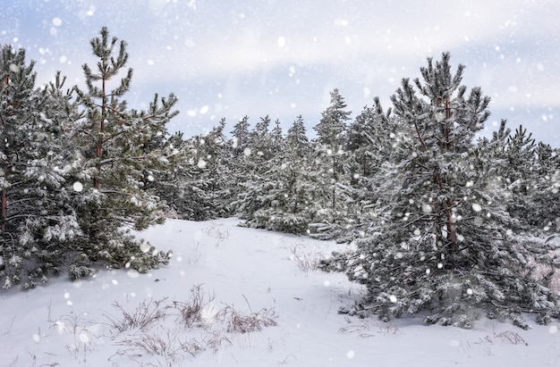 Abeti ricoperti di brina e neve. foresta d'inverno nella neve