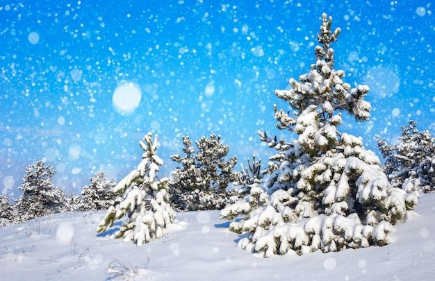 Abeti ricoperti di brina e neve. foresta d'inverno