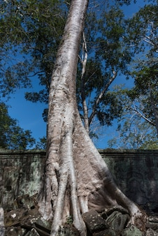 Albero di spung al tempio di ta prohm, parco archeologico di angkor, krong siem reap, siem reap, cambogia