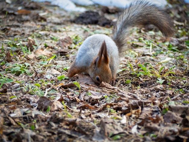 Uno scoiattolo scava attraverso il fogliame autunnale nel parco in autunno.
